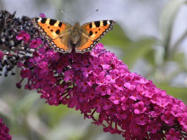Peintures ou les papillons jouent un role centerblog - Comment attirer les papillons dans son jardin ...